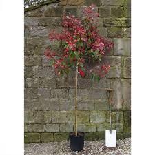 photinia robin tree evergreen trees ornamental tree nurseries