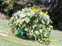 A Sunflower House