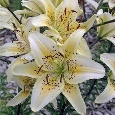 Kies Garten Gelb Asiatische Lilie Weiß Gelb 3 Zwiebeln U203a U203a Online Kaufen Bei Gartenliebe
