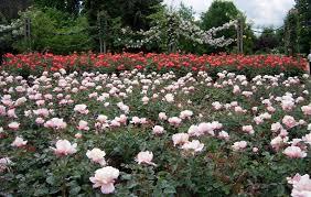 light color design the rose