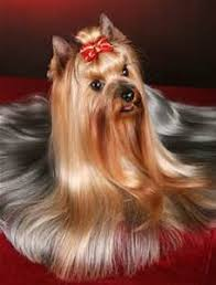 yorkie haircuts for a silky coat different cuts for teacup yorkshire terrier yahoo search results