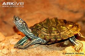map turtle cagle s map turtle photo graptemys caglei g64287 arkive