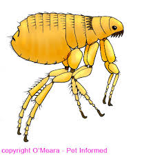 Anatomy Of A Cats Eye Flea Pictures What Do Fleas And Flea Infestations Look Like