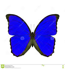 Exotic Colors by Exotic Blue Butterfly Isolated On White Background The Blue Mor