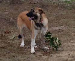 7 month old australian shepherd weight our 7 month old great pyrenees german shepherd mix pennie my