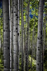 34 best nature tattoo images on pinterest nature tattoos nature explore aspen s aspen trees before and while they change color