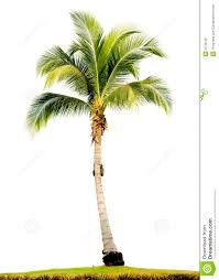 palm tree isolated royalty free stock photos image 2578138