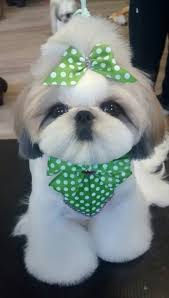 list of shih haircut 89 best shih tzu hair styles images on pinterest shih tzus