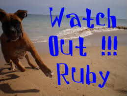 8 month old boxer dog weight is ruby under weight boxer forum boxer breed dog forums