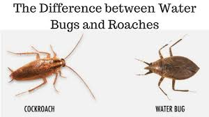 light brown roach looking bug the difference between water bugs and roaches pest revenge