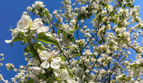 5 best flowering trees for connecticut barts tree service