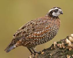 northern bobwhite audubon field guide