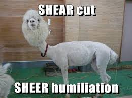 Alpaca Meme - i can has cheezburger alpacas funny animals online cheezburger