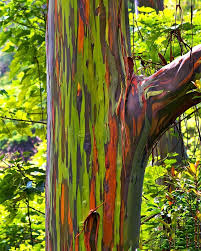 rainbow eucalyptus tree for sale the tree center