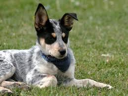 is a australian shepherd hypoallergenic 10 healthiest dog breeds petmd