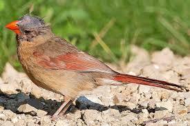 cardinal bird home decor is this bird sick learn the signs