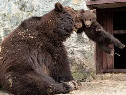 Ozzy The Grizzly Bear Picks The Eagles To Win The Super Bowl Local - cubby bear love extraordinaire cubby bear love