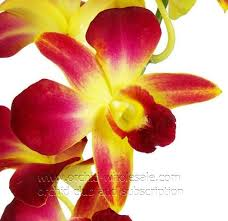 yellow orchid dendrobium orchid dyed yellow orchidclub us fresh cut