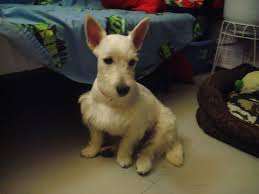 images of westie hair cuts new hair cut west highland white terriers