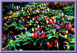 ornamental peppers see our store combined s h ebay