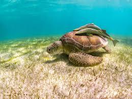 swimming with green sea turtles at akumal mexico
