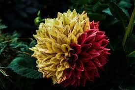 free photo flower dahlia flower garden free image on pixabay