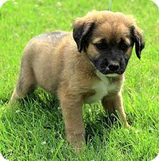 belgian malinois vermont liam adopted puppy dg brattleboro vt st bernard german