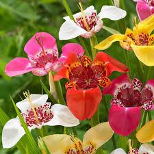 buy peacock tiger flowers j bulbs