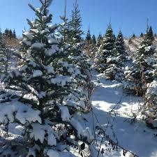 pederson u0027s christmas tree farm home facebook