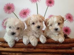 affenpinscher a donner maltese bichon maltais dog chien animaux chien pinterest