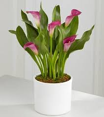 Calla Lily Flower Delivery - calla lily plant in albuquerque nm peoples flowers
