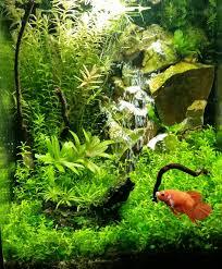 aquarium design exle pearlweed growth plantedtank