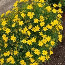 plante vivace soleil plantes vivaces coreopsis verticillata u0027zagreb u0027 coréopsis