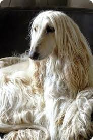 afghan hound harga girls with cats blue eyes cat and dog