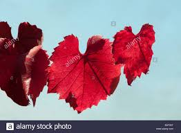 grapevine leaves stock photos u0026 grapevine leaves stock images alamy