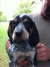 westminster bluetick coonhound 2016 i found peanut on searching bluetick coonhound and pets