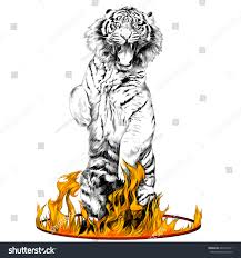 tiger fulllength on hind legs circus stock vector 669774721