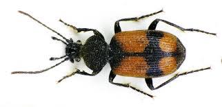 ground beetle wikipedia