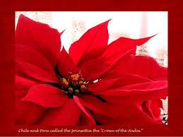 mexico christmas star poinsettia