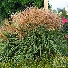210 best grass images on ornamental grasses planting