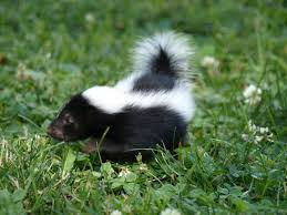 How Do You Get Rid Of Skunks In Your Backyard Skunks How To Tell If They Live In Your Yard Joliet Il Patch