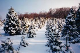 good spirits tree farm u cut and live evergreen trees in