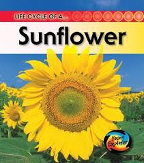 Life Cycle Of A Flowering Plant - life cycle of a sunflower by angela royston