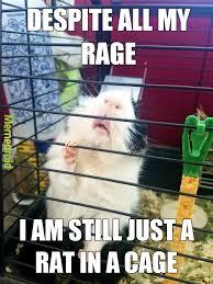 Shaved Guinea Pig Meme - the best guinea pig memes memedroid