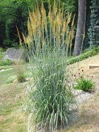tall grasses for landscaping ornamental grasses for northern