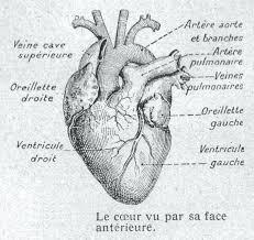 coloriages danatomie du coeur  yusonginfo