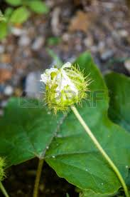 Rainforest Passion Flower - stinking passion flower stock photos u0026 pictures royalty free