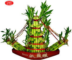 decorative bamboo plants buy lucky bamboo plants online india