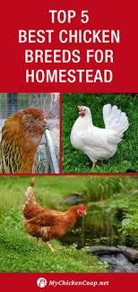 best backyard chicken easy backyard chicken coop plans chicken breeds backyard