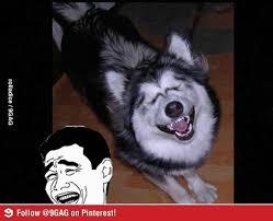 Funny Husky Memes - funny husky dog meme